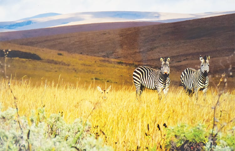 a deer 'in conversation' with zebras —White Star