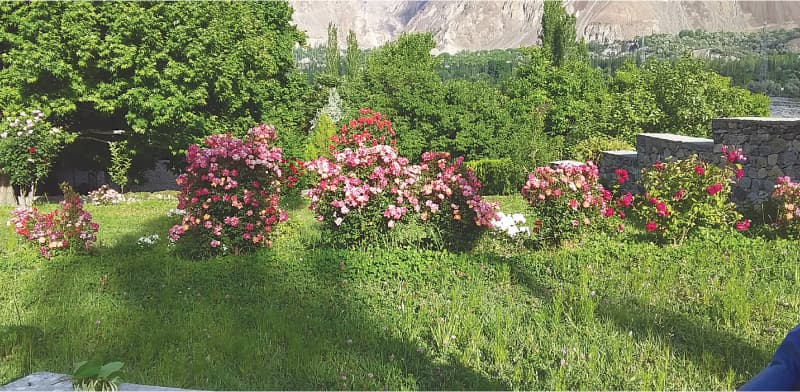 Roses in abundance at Chatorkhan