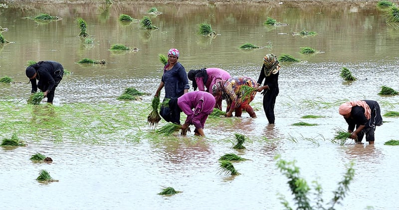 LAHORE: Women farmers manually transplant rice seedlings in a field on Wednesday. The SBP's new regulations aim to encourage banks and DFIs to increase financing for development loans in crop and non-crop sectors, thereby giving the agriculture sector a boost.—APP