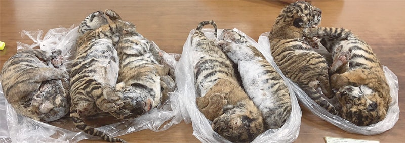 The seven tiger carcasses seized by police.—AFP