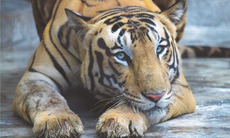 India's wild tiger population jumps to nearly 3,000