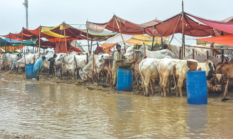 A FLOODED pathway in the cattle market off Superhighway.—White Star