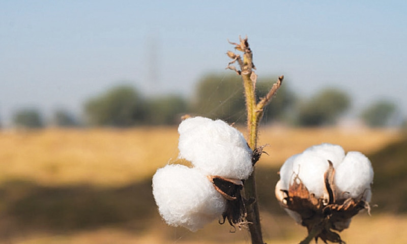 Growers lose over Rs12bn a year since impure lint fetches a lower price. — Dawn/File