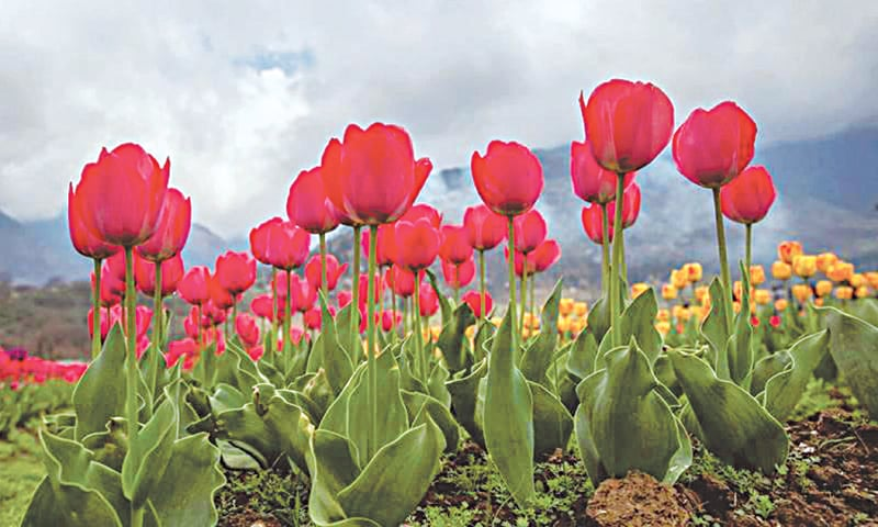 In 2018, the World Book of Records included Kashmir's Indira Gandhi Tulip Garden for its record of  1.2 million bulbs | Wikimedia