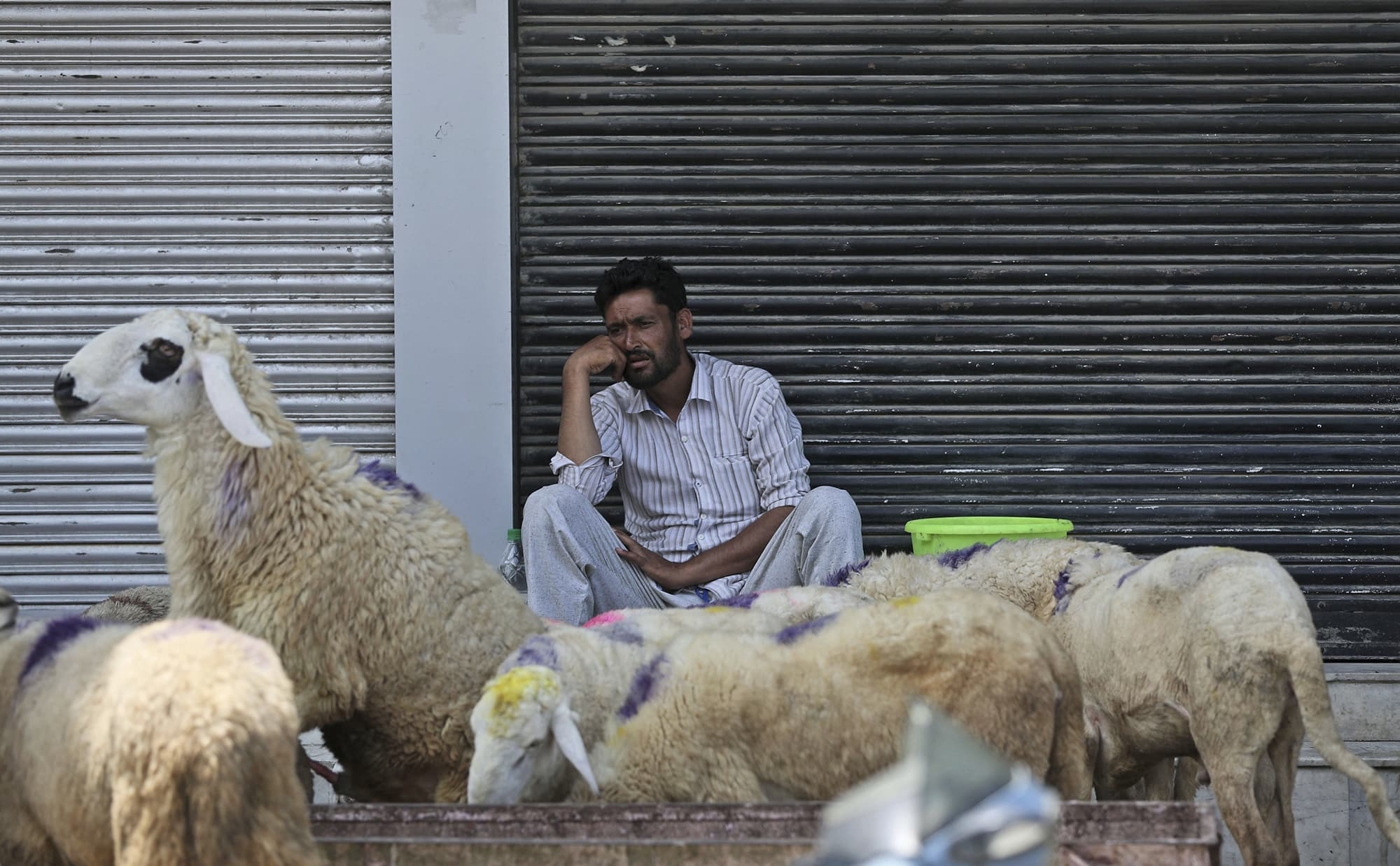 A Kashmiri livestock seller waits for customers as business remains spotty ahead of Eidul Azha with curfew in Srinagar. ─ AP