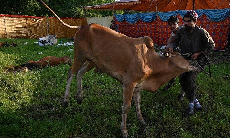 نماز عید کی ادائیگی کے بعد مسلمانان پاکستان سنت ابراہیمی پر عمل کرتے ہوئے جانوروں کی قربانی میں مصروف ہیں— فوٹو: اے ایف پی