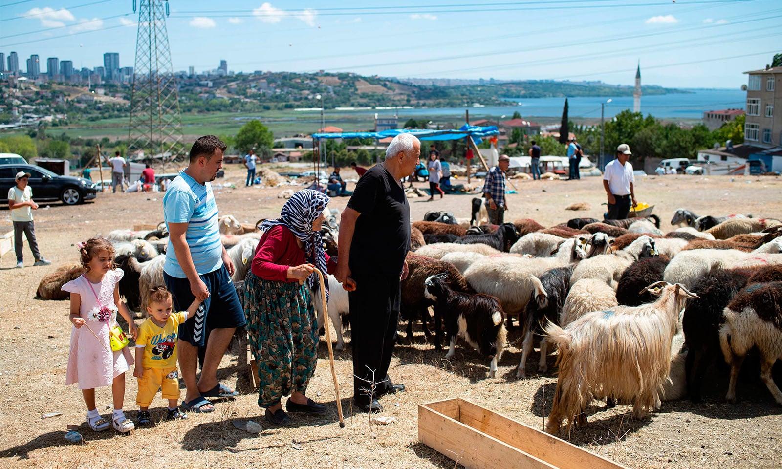 ترکی میں ایک خاندان قربانی کے لیے جانور پسند کرتے ہوئے—تصویر: اے ایف پی