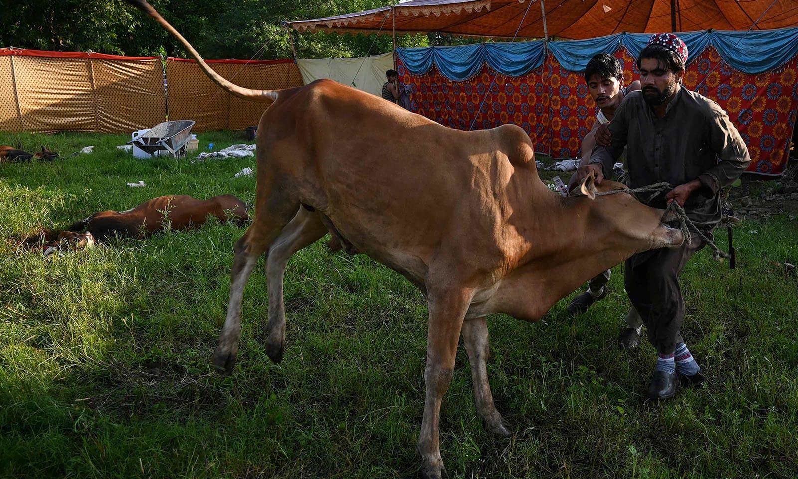 پاکستان میں نماز عید کی ادائیگی کے فوراً بعد جانور قربان کرنے کا آغاز ہوجاتا ہے—تصویر:اے ایف پی