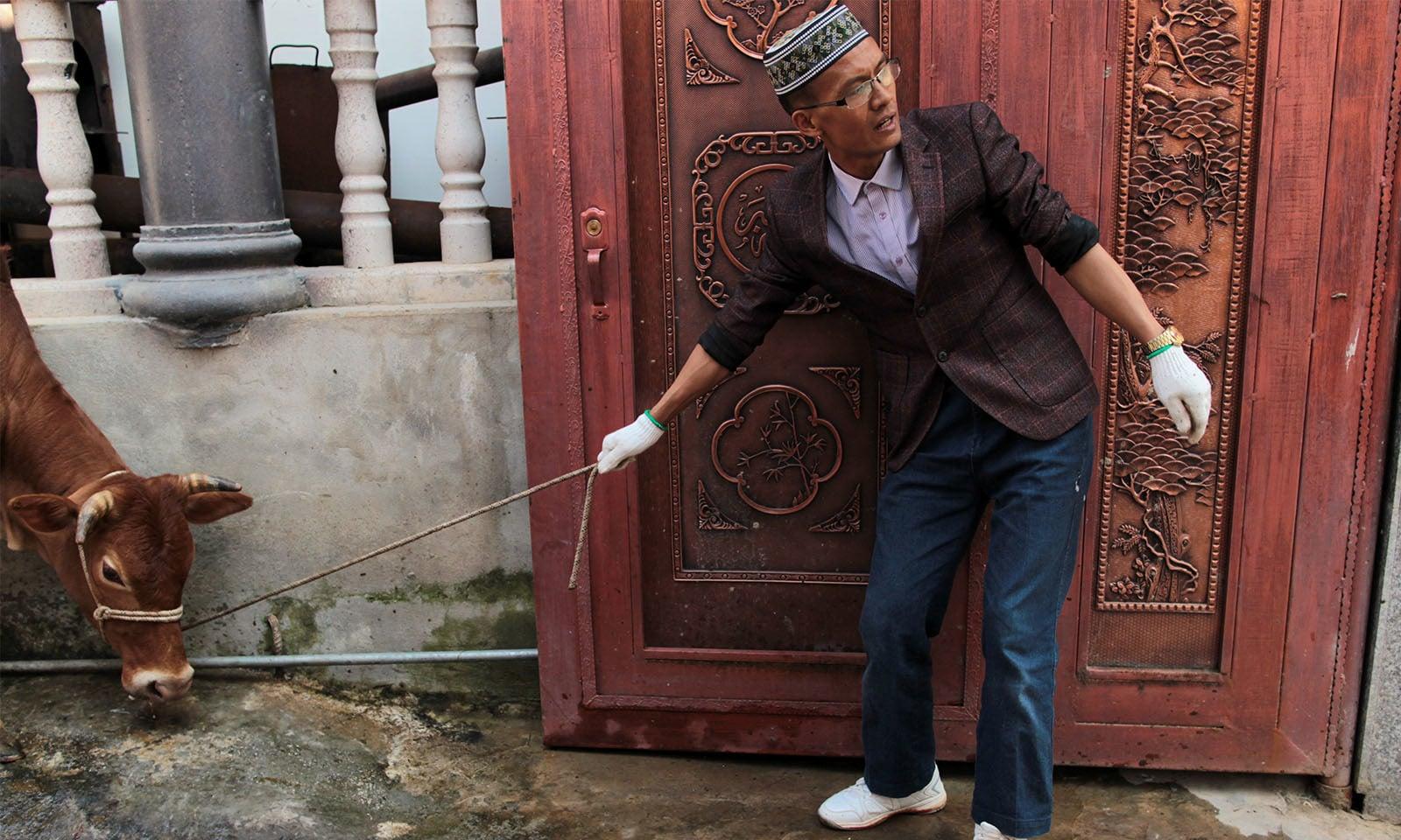 چین میں ایک نوجوان گائے کو قربانی کے لیے لے جاتے ہوئے—تصویر: رائٹرز