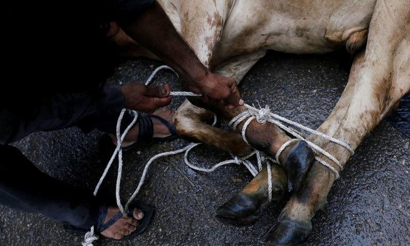 جانوروں کی آلائشوں سے تعفن اور بدبو پھیل رہی ہے جس سے کئی وبائی امراض جنم لے سکتے ہیں — فوٹو: رائٹرز