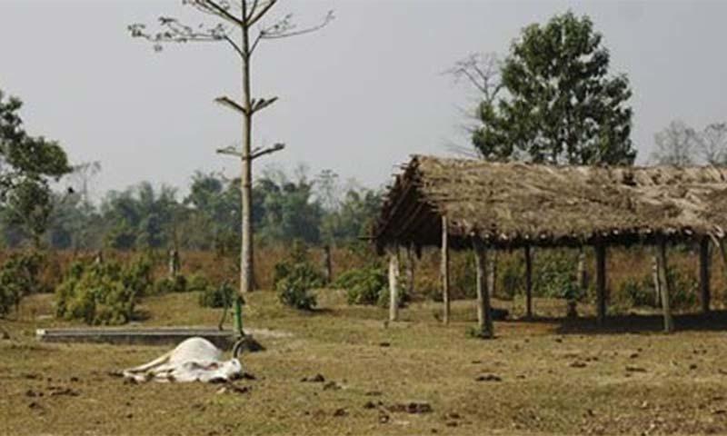 نیپال میں گِدھوں کی خوراک کے لیے مردہ گائے کا انتظام کیا گیا ہے—فوٹو: رائٹرز