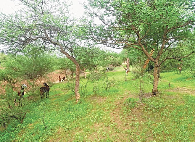 Thar begins to turn green amid rainfall