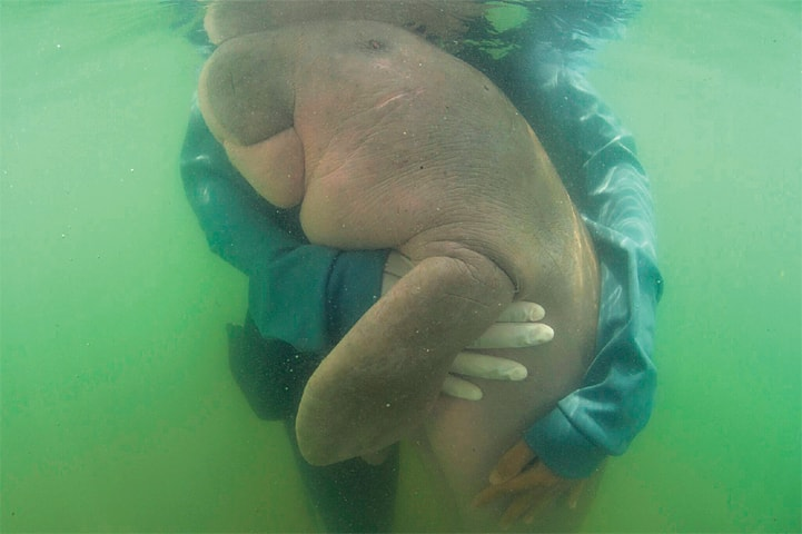 This May 23, 2019, file photo shows an official hugs baby dugong.—AP