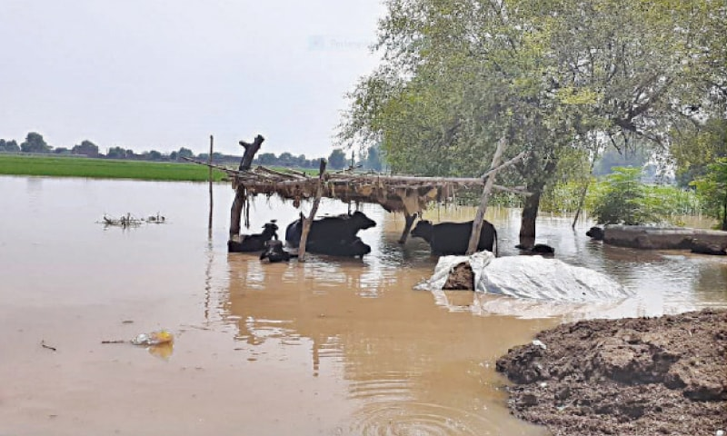 Displacement of villagers and livestock in Kasur continued on Wednesday, as the Sutlej went on swelling for the third consecutive day here in Ganda Singhwala locality, its adjacent villages and hamlets owing to the water released from the Indian Punjab. — Dawn