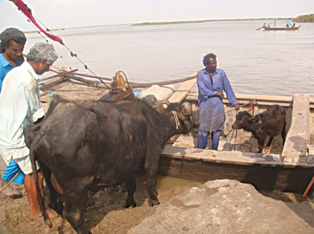 VILLAGERS normally transport their animals by a boat in the heavily eroded deltaic region of Thatta.—Photo by the author