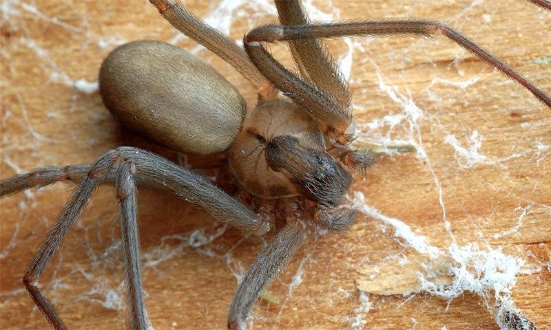 خاتون کے کان میں زہریلی مکڑی دریافت