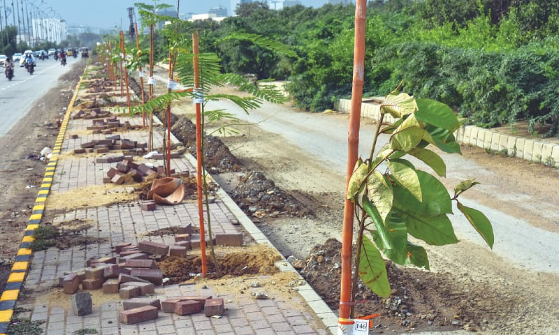 The fruit-bearing tree saplings lining the Mai Kolachi bypass are expected to create a model road offering plenty or shade.—White Star