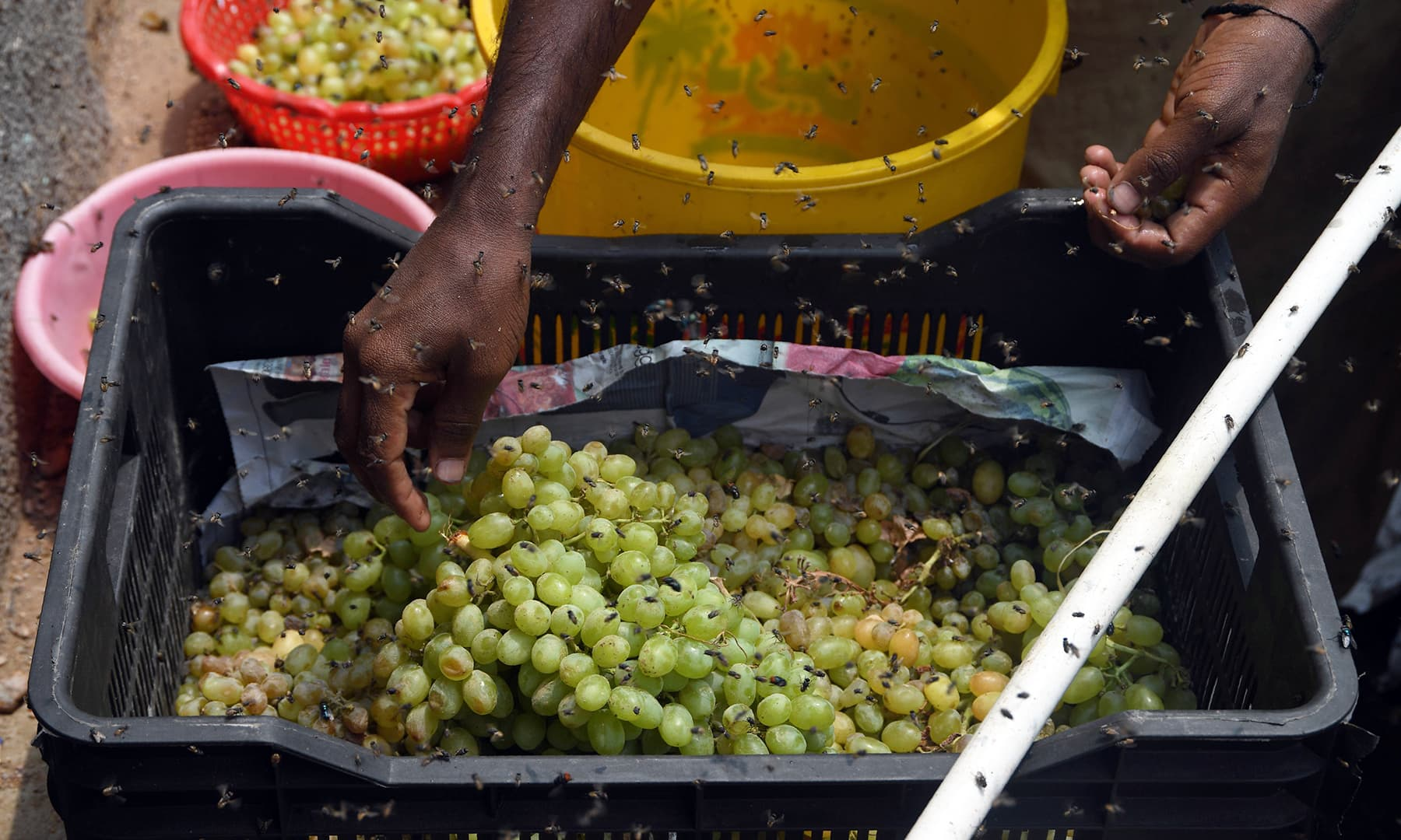 In this picture taken on September 2, a vendor arranges grapes as flies swarm around his cart in a slum area in Karachi. — AFP