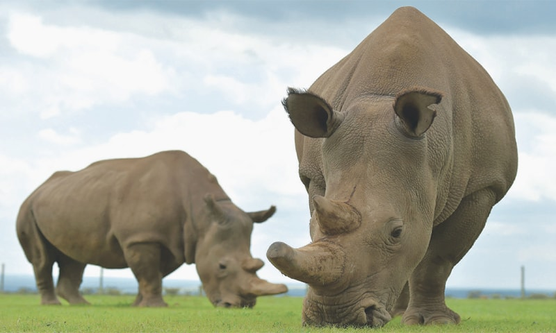 Scientists succeed in creating 2 embryos of near-extinct northern white rhino