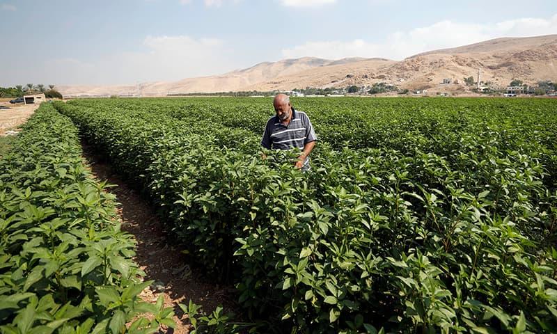 A Palestinian farmer works in a field in Jordan Valley in the Israeli-occupied West Bank September 11, 2019. — Reuters