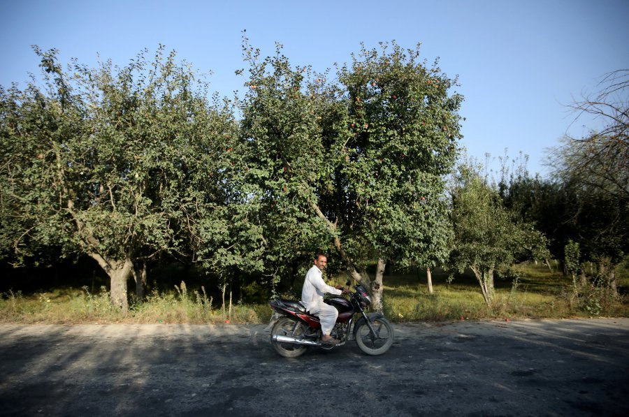 A man rides a bike past an apple orchard, in Sopore, occupied Kashmir. ─ Reuters