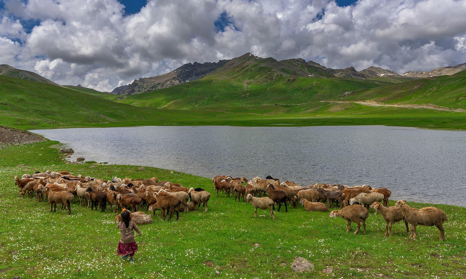 گڈریا بنی اپنی بھیڑوں کو ہانکتی بچی