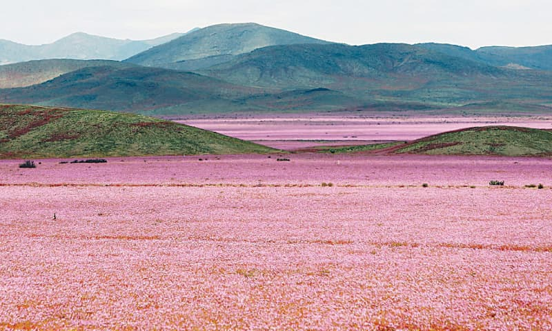 A carpet of flowers in the Atacama Desert, Chile