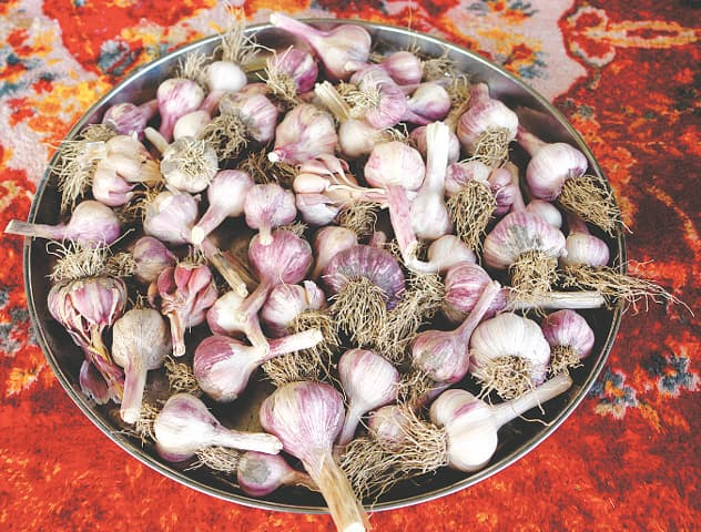 Cleaned garlic bulbs, ready to be stored