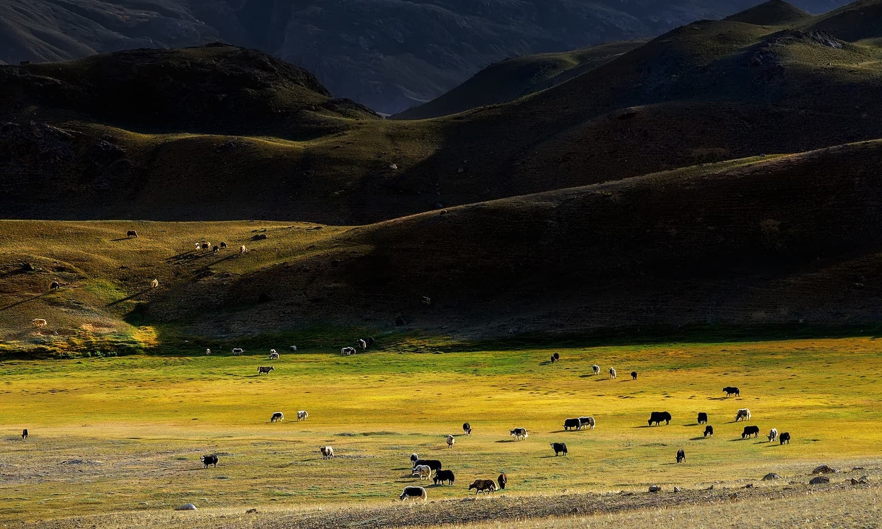 Herd of yaks near the Laila Rabat campsite. — Photo by author