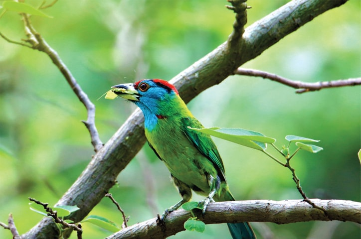 Margalla Hills are home to a large number of birds, including the Blue Throated Barbet.