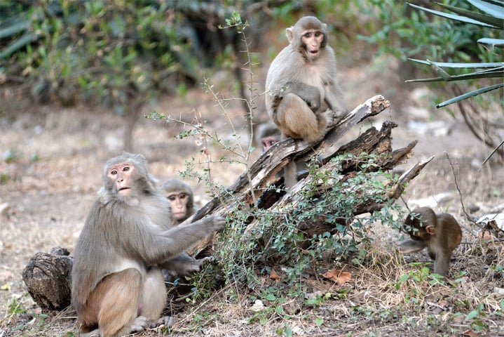 Monkeys are the most visible of the animals in the Margalla Hills.