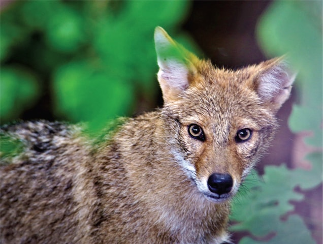 Red Jackal's population has also improved due to the food outlets that have opened in the hills. These animals feed on the leftover food available there.