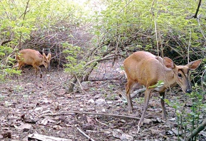 Barking deer too had faced serious threats in the past decade but its population is also improving. — Photos by Mohibullah (wildlife photographer)