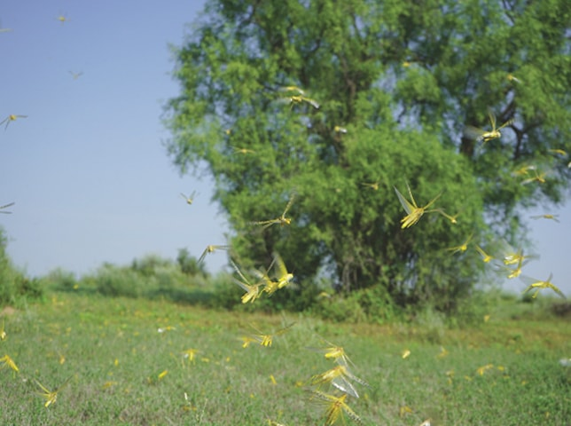 Yellow locusts flying on the grassland in surrounding areas of Chachro, Tharparkar