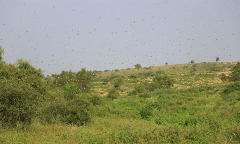 Swarm of locusts. — Manoj Genani