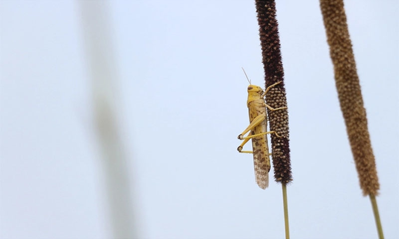Locusts are denuding Pakistani farms in an infestation said to be linked to climate change. — Manoj Genani