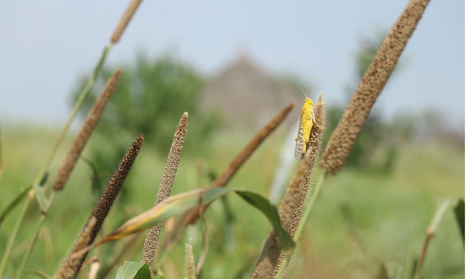 ٹڈیاں نہ صرف تھریوں کی فصلوں کو نقصان پہنچاتی ہیں بلکہ ان کی زد میں مویشی بھی آجاتے ہیں۔