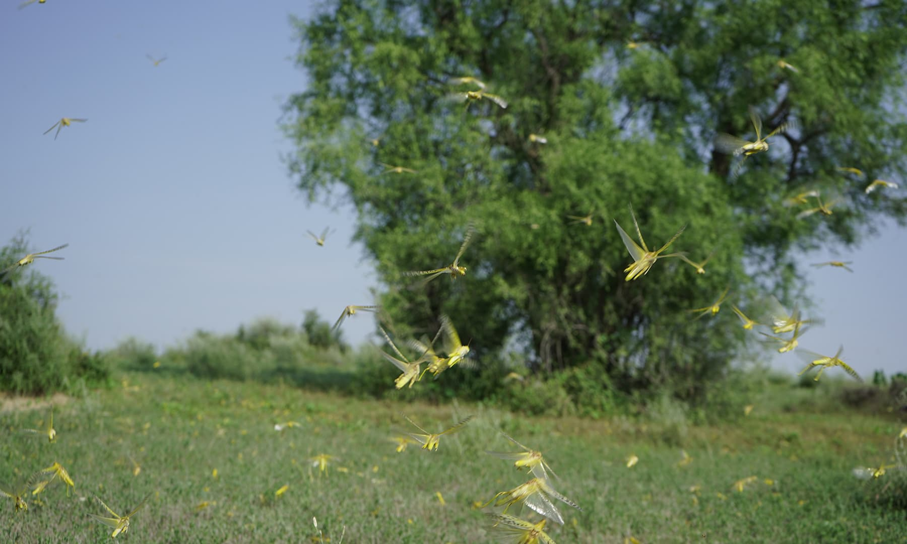 چھاچھرو کے قریبی علاقوں میں زرد رنگ کی ٹڈیاں کھیتوں کو نقصان پہنچا رہی ہیں