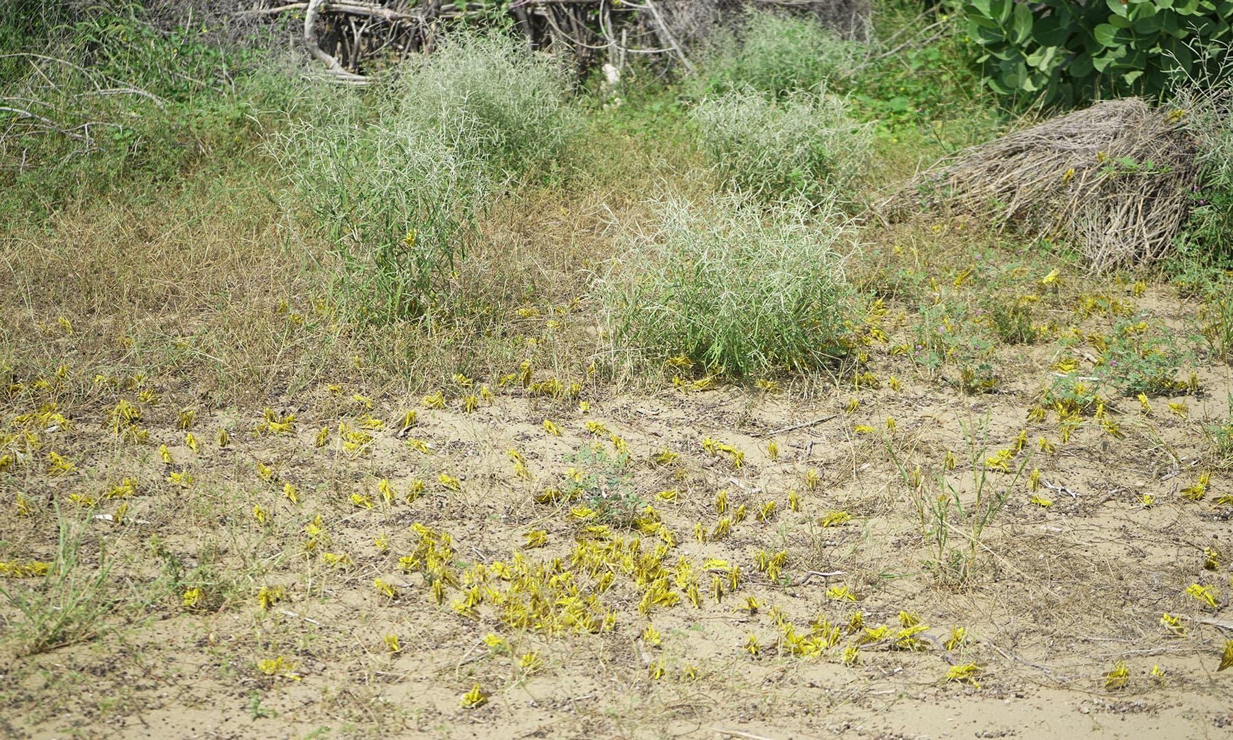 چھاچھرو سمیت تھرپارکر کے دیگر حصوں میں موجود کھیتوں پر ٹڈیوں کے گروہ دیکھے جاسکتے ہیں
