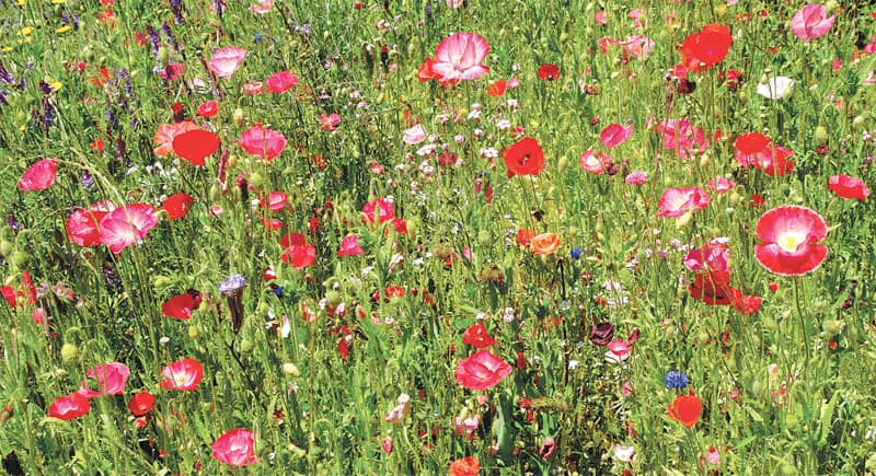 Glorious poppies | Photos by the writer
