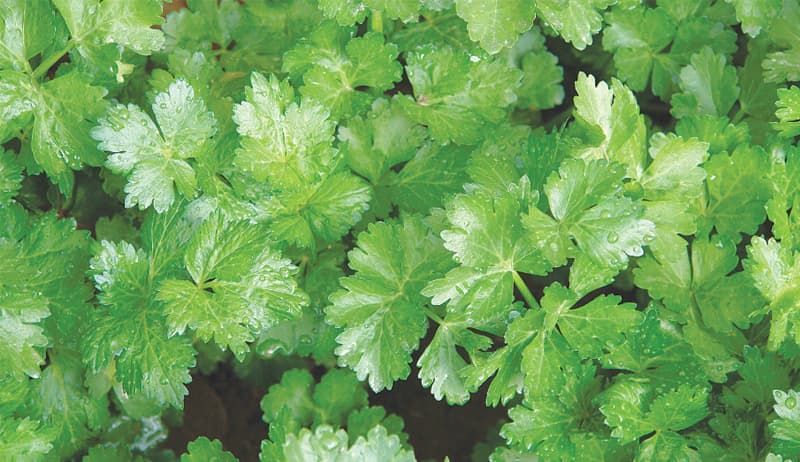 Herb of the month — coriander