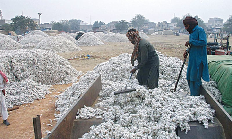 Labourers unload cotton from a tractor-trolley at the Ghalla Mandi in Bahawalpur. Harsh weather and pest attacks along with use of uncertified seed and poor quality pesticides by growers has led to reduced per acre yield. — APP photo