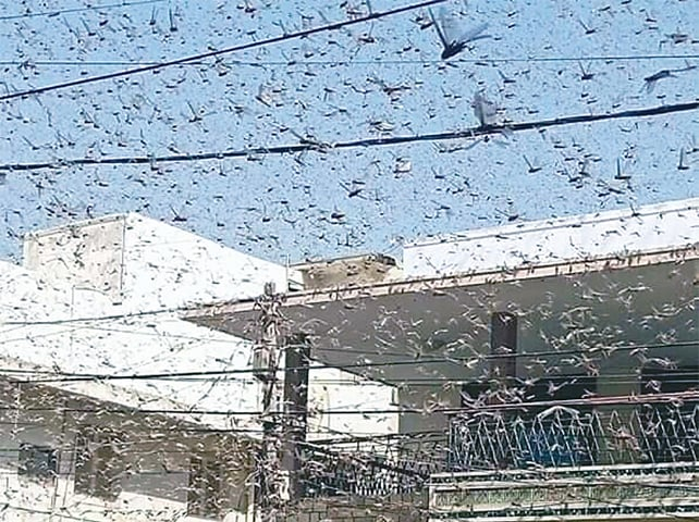 KARACHI: Swarms of locusts fill the skies in a neighbourhood of the city on Monday. Federal and provincial authorities, while ruling out any damage to crops on the city's outskirts, termed it the creature's migration process.—PPI