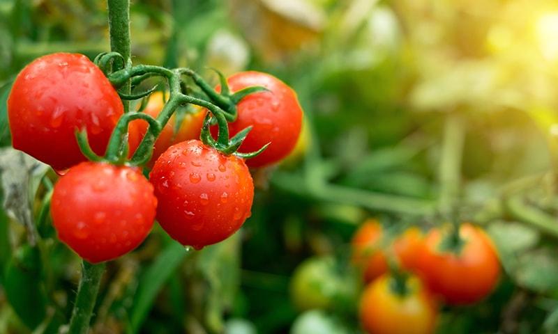حکومت کا ایران سے ٹماٹر درآمد کرنے پر غور