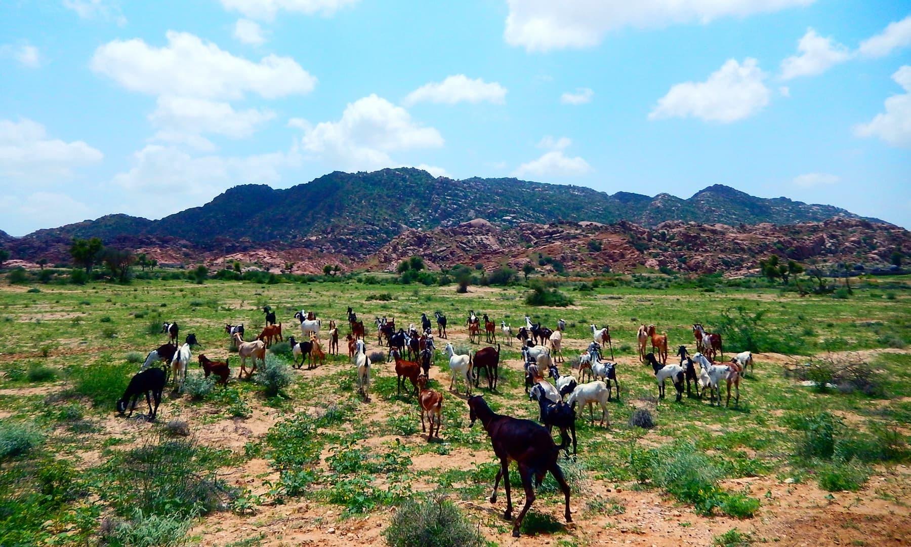 مویشیوں کے لیے جنت سمجھے جانے والا کارونجھر—ابوبکر شیخ