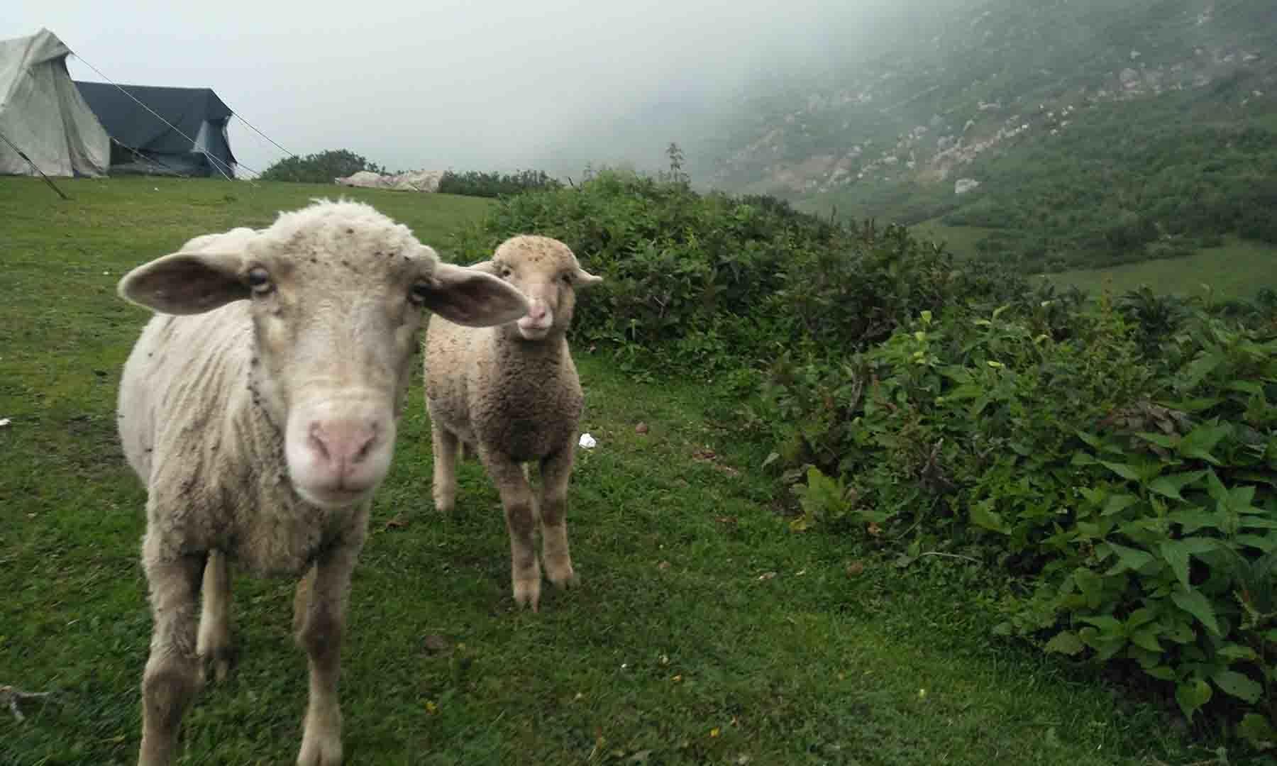 مویشی جانوروں کی موجودگی نظاروں میں مزید رنگ بھر دیتی ہے— عظمت اکبر