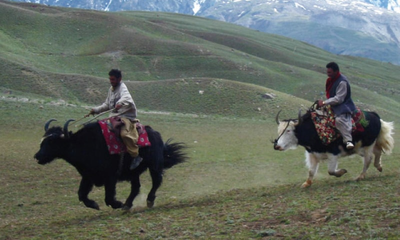 Locals take a ride on yaks in Baroghil, Upper Chitral. — Dawn