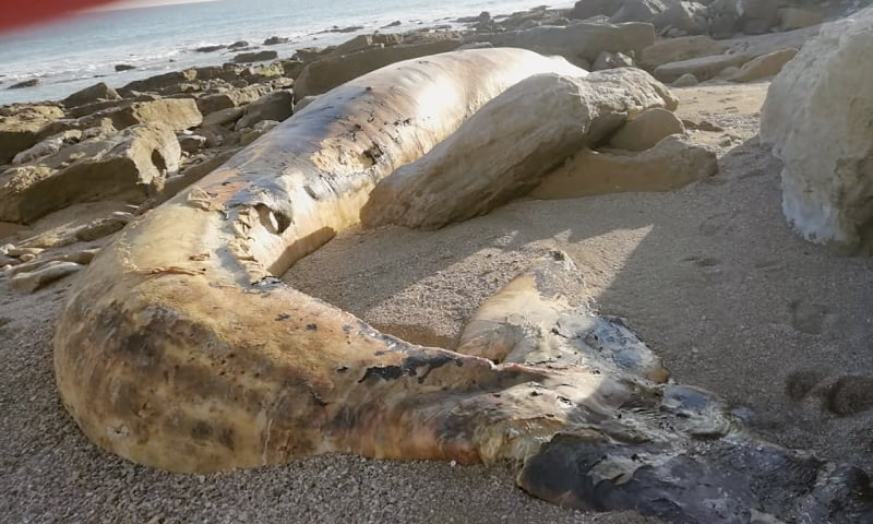 The remains of a Bryde's whale were found on Friday at an isolated rocky beach in Gunz, part of Balochistan's coastal town of Jiwani.