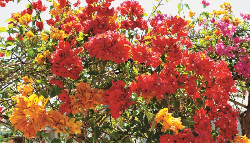 Bougainvillea | Photos by the writer