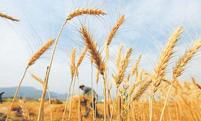 Changes in the pattern of rainfall and cold stress phenomenon have resulted in the loss of normal yields of food grains, including wheat and maize, and fruits in different districts of Khyber Pakhtunkhwa in recent years. — B&F Weekly/File